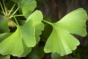 where to buy ginkgo
