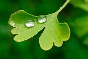 where can i find ginkgo biloba